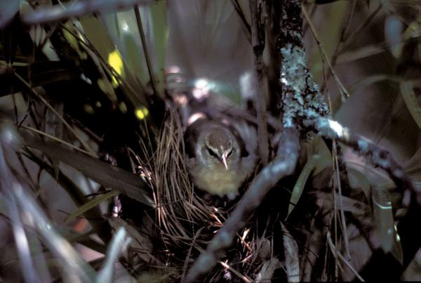 Figure 21. Swainson's warblers often nest in switchcane, especia
