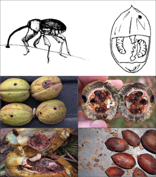 Figure 21. The pecan weevil punctures nuts, and its larvae damag