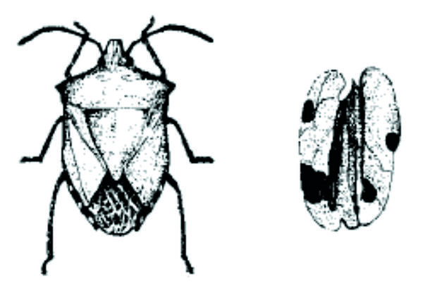 Figure 22. The stink bug punctures nuts and damages the meats.