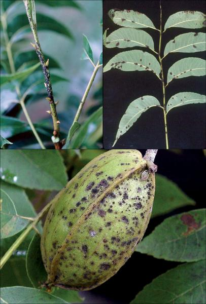Figure 25.  Pecan scab occurs on the petioles, leaves, and devel