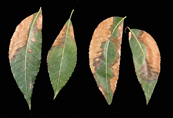 Figure 26. Bacterial leaf scorch affects pecan leaflets.