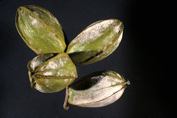 Figure 27. Powdery mildew affects foliage and pecans.