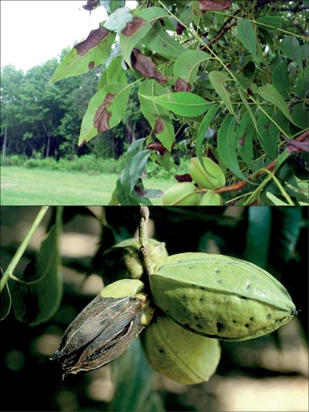 Figure 29. Anthracnose occurs on pecan foliage and developing n