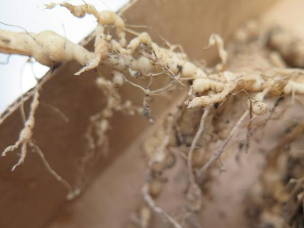 "Figure 2. Close-up of ""knotted"" roots on a tomato plant infected"