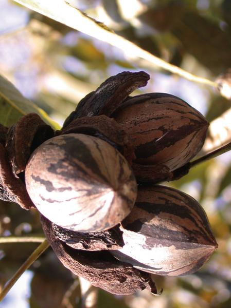 Figure 33. These pecans are ready for harvest.