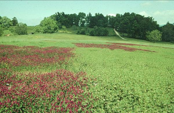 An example of crimson clover and hairy vetch cover crops.