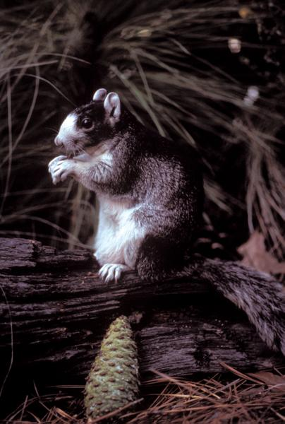 Figure 5. Fox squirrels prefer the pine savannas maintained by f