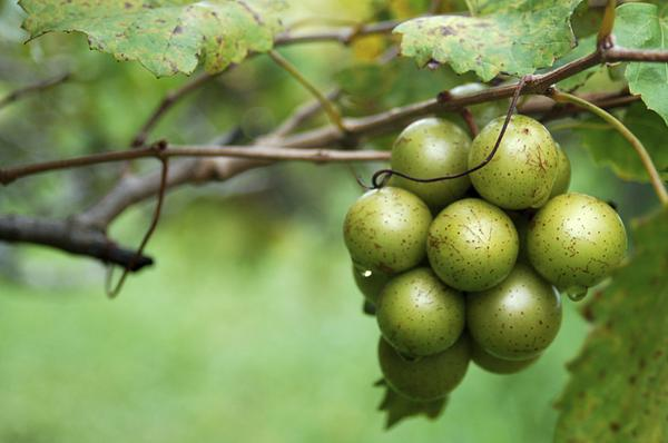 Identifying the sex of muscadines