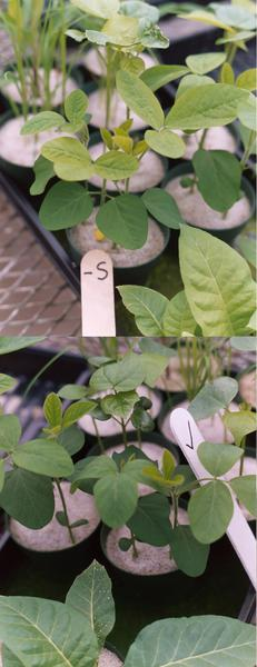 Figure 6-8. Sulfur deficiency induced in the greenhouse (top) an