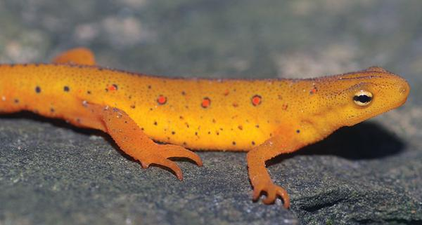 Figure 6. Eastern newt (Notophthalmus viridescens), as an eft (a