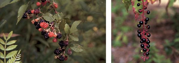 Figure 6. Blackberry (left), pokeweed (right), and other plants
