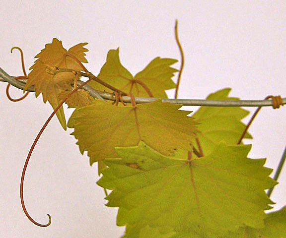 Fig 7: Unlike other grapes, muscadines have unbranched tendrils