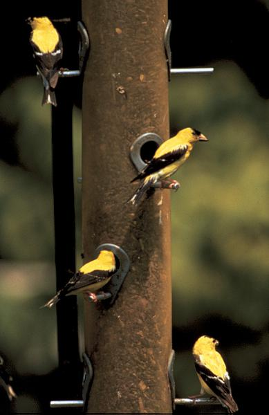 Figure 8. American goldfinches commonly visit tube feeders to ea