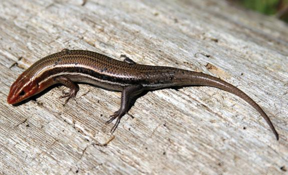Figure 9. Southeastern five-lined skink (Eumeces [Plestiodon] in