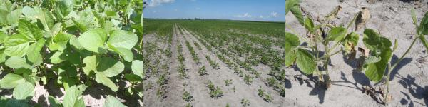 Figure 1. Soybean growth in a salt water-impacted field in Hyde