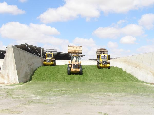 Image of loaders compacting silage in a bunker silo.