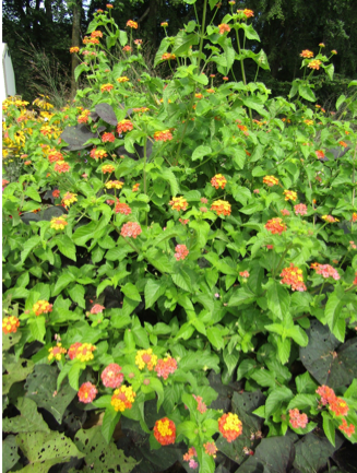 Color photo of plant with green leaves and orange flowers