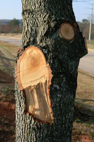 This bad cut with ripped bark was made flush with the trunk