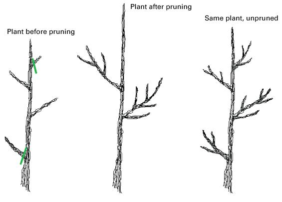 Comparison of branch growth when pruned or left unpruned