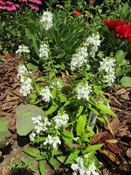 Color photo of plant with green leaves and white flowers