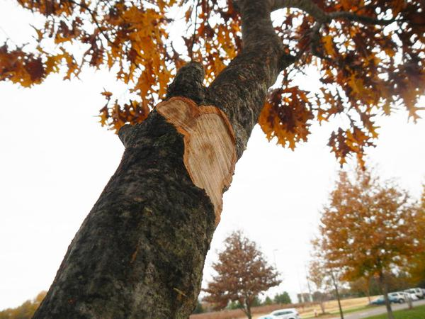 Flush cuts like these are linked with poor tree health