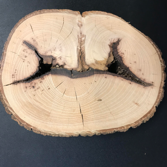 Cross section of a tree shows how the wound is compartmentalized