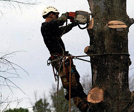 A worker attached to a large tree makes a cut with a chainsaw