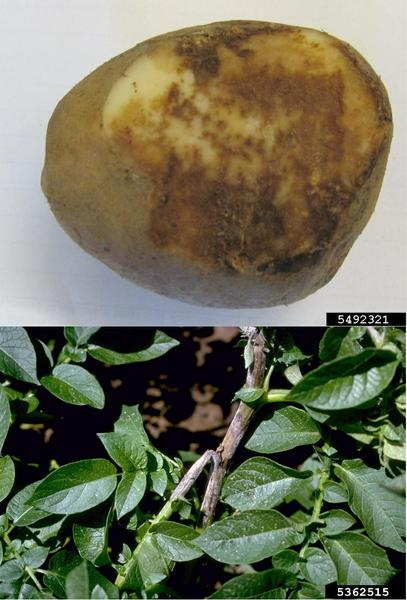 Photo of lesions on a potato and a stem.