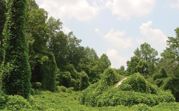 Photo of trees covered in kudzu vines.