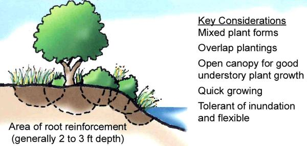 Illustration showing how plants stabilize stream banks