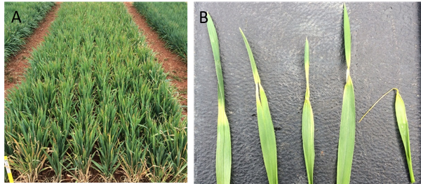 Thumbnail image for Scouting for Freeze Injury in North Carolina Winter Wheat