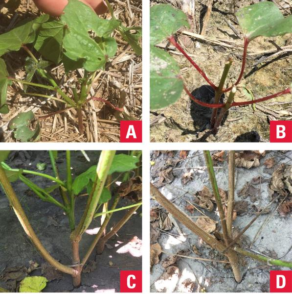 Figure 1. Evidence of deer feeding on terminal buds (A, B) and t