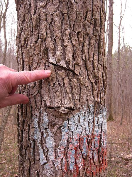 Photo of survey marks on trees with a machete