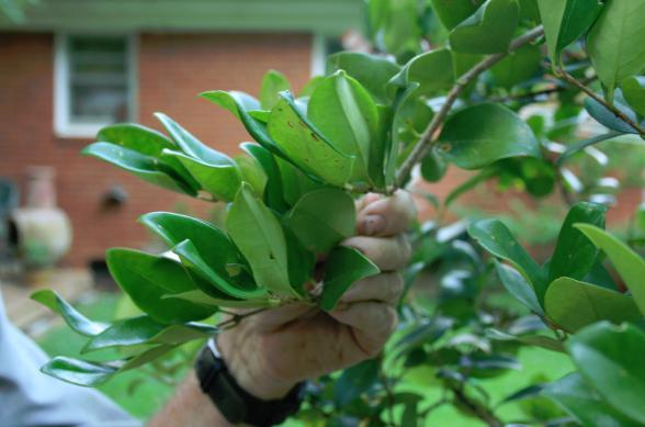 A privet before pruning