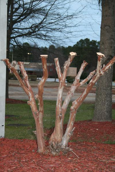 Every branch of a crape myrtle has been cut off severely