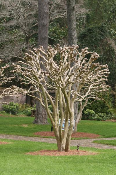A pollarded crape myrtle shows a proper pruning technique