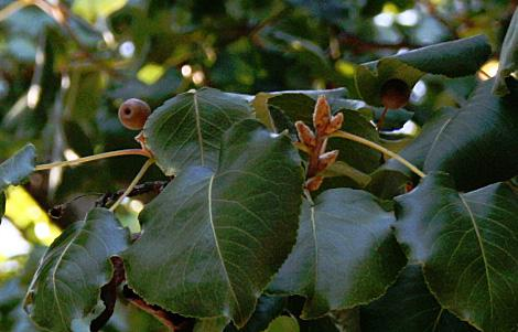 Developing fruit and flower buds grow on a Callery pear
