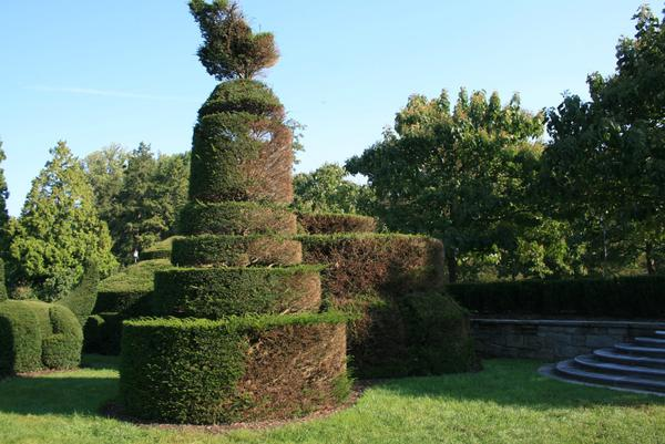 Spiraling old topiary shows dead areas due to constant pruning