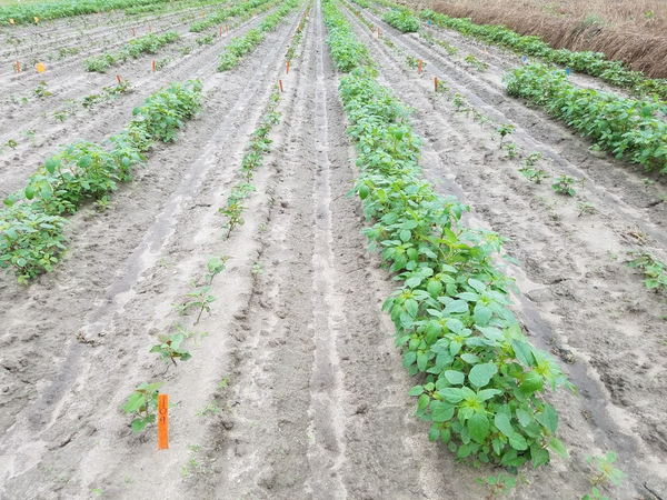 Color photo of field with sweetpotato and Palmer amaranth