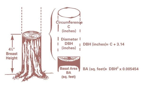 Illustrating how to measure a tree to calculate basal area.