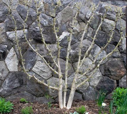 A fan-shaped, espaliered shrub in front of a rock wall