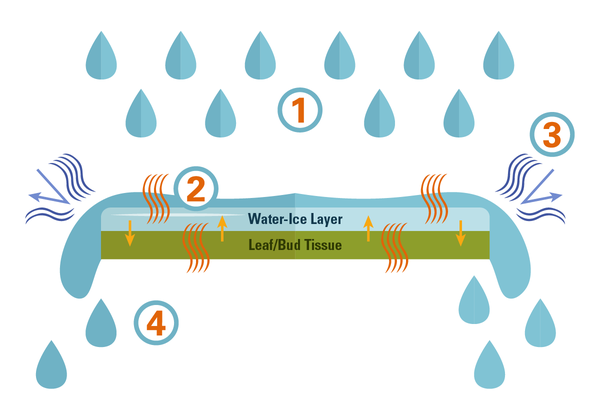 A water-ice layer can protect leaf/bud tissue
