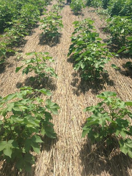 Rows of cotton plants growing among rye mulch cover crop