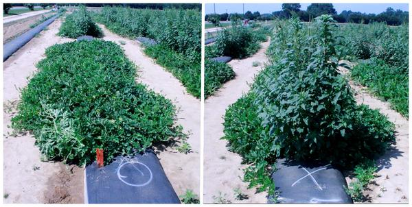 Photos of melon vines and tall Palmar amaranth above vines