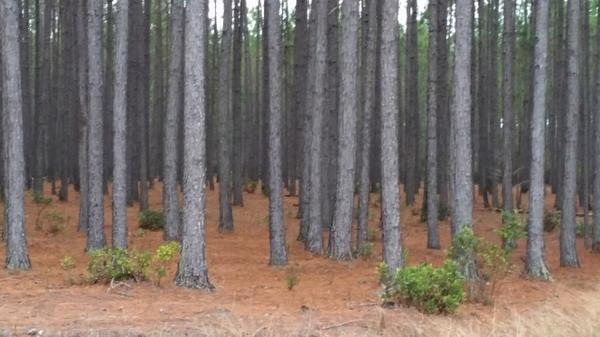 Photo of unthinned pine plantation
