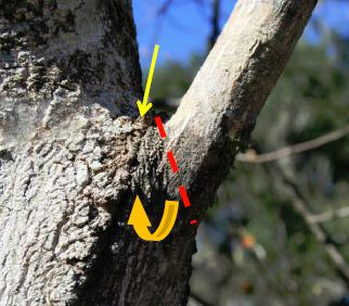Markers show branch bark ridge and angle of collar cut
