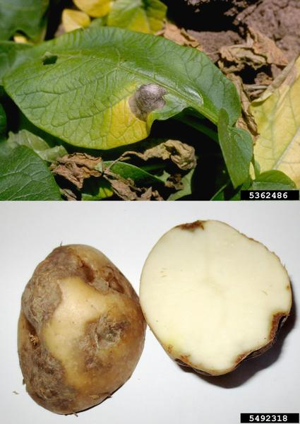 Photos of target spot lesions on leaves and tubers.