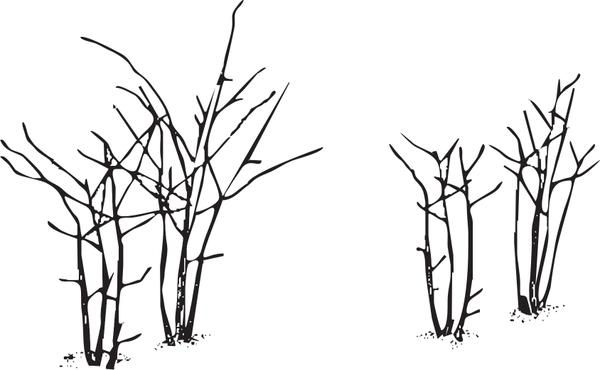 Illustration of erect blackberries before and after pruning
