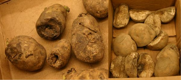 Photo of sunken lesions on tubers.