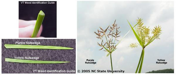 Photos of stem, leaf tips, and flower heads of nutsedges